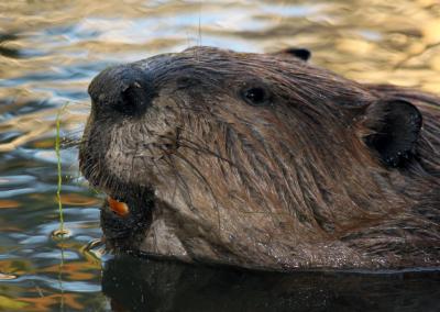 Beavere