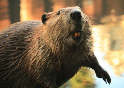 Beaver in California